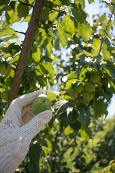 ♪梅の実をもいでみよう♪ 5kg